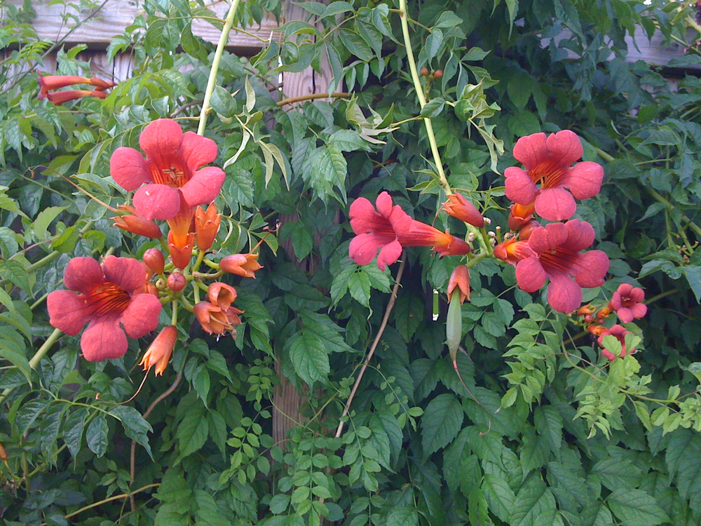 "Trumpet vine flowers and ""fruit"" | walter sanford's photoblog"