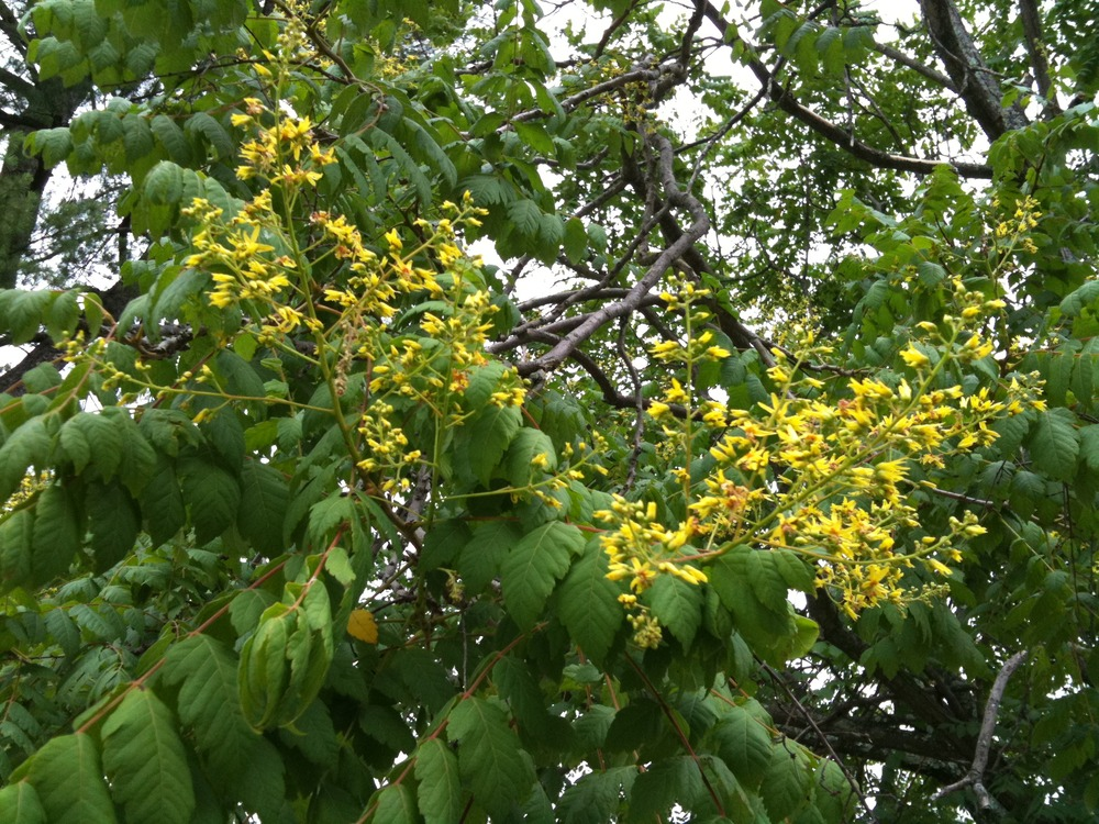 Panicled Goldenrain Tree Flowers And Fruit Walter Sanfords