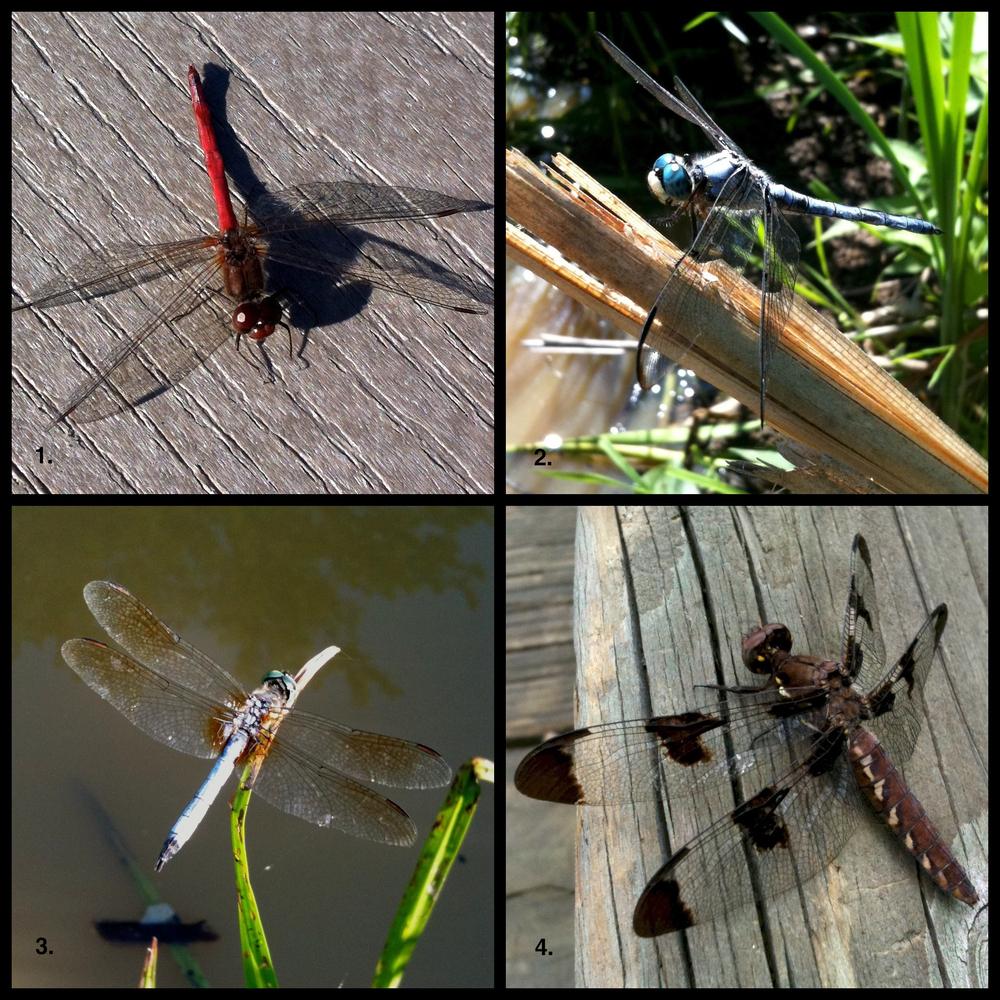 Diptic: Dragonfly identification quiz/scavenger hunt   walter