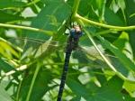 Swamp Darner dragonfly(male)