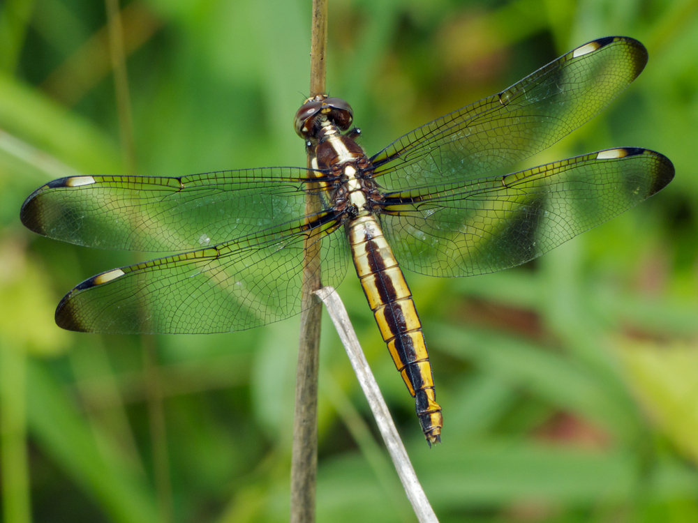 Spangled Skimmer dragonfly (female) redux | walter sanford ... - photo#16