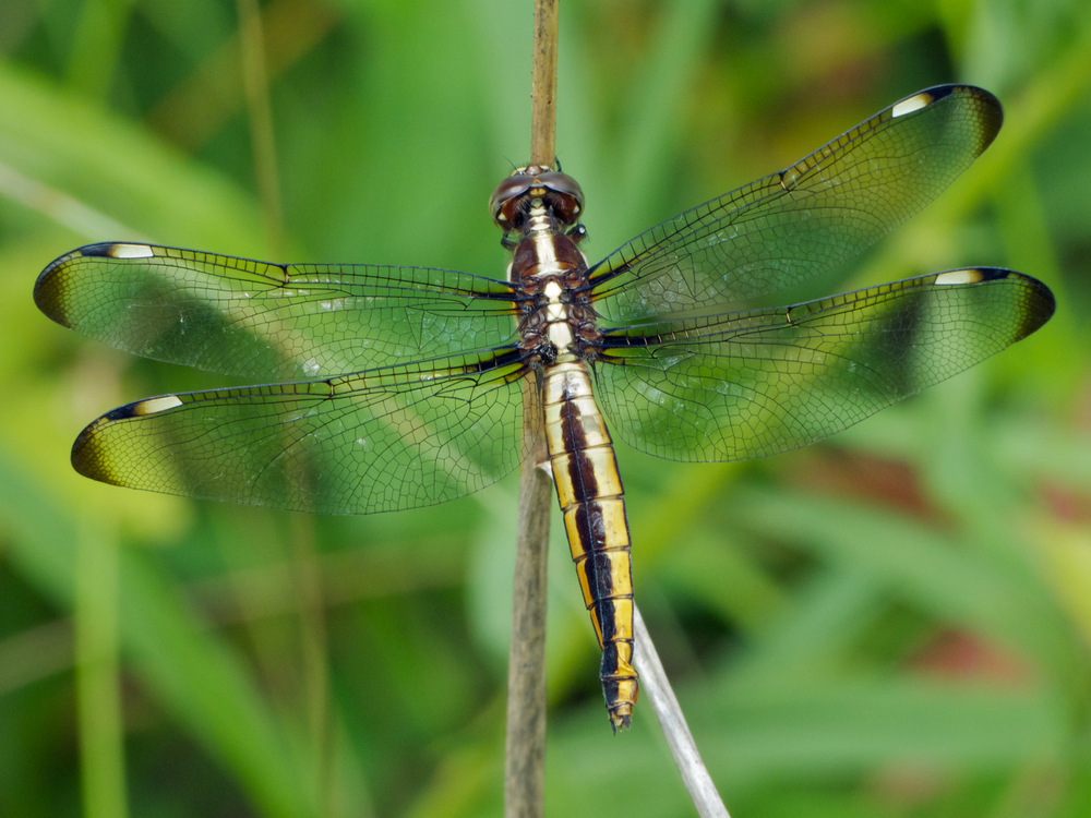Spangled Skimmer dragonfly (female) redux | walter sanford ... - photo#1