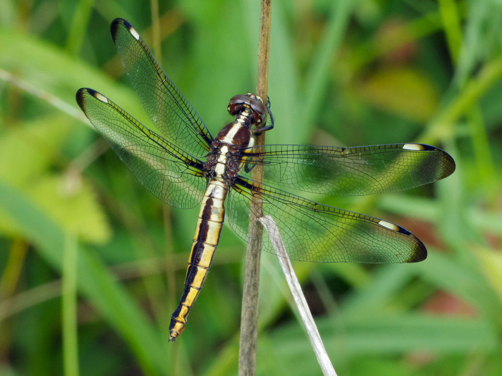 Spangled Skimmer dragonfly (female) redux | walter sanford ... - photo#15