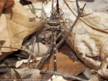 Stream Cruiser dragonfly (female)
