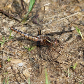 Blue Corporal dragonfly (female)