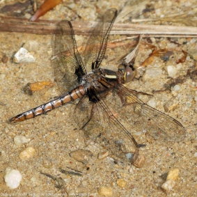 Blue Corporal dragonfly (immature male)