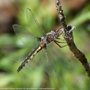 Common Baskettail dragonfly (female)