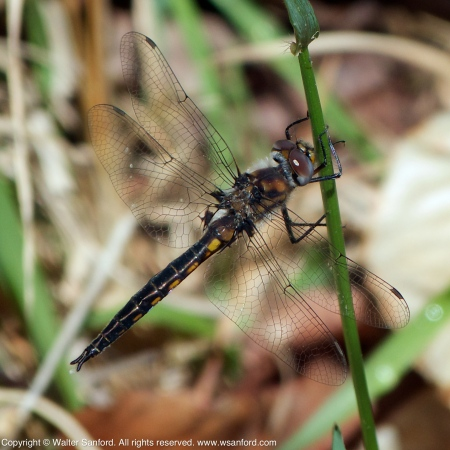 Slender Baskettail dragonfly (male)