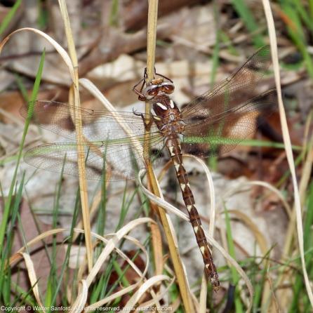 Brown Spiketail dragonfly (Cordulegaster bilineata)