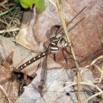 Brown Spiketail dragonfly (Cordulegaster bilineata)