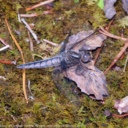 Blue Corporal dragonfly (mature female)