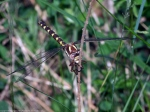 Brown Spiketail dragonfly(female)