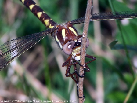 Brown Spiketail dragonfly (female)