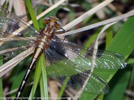 Ashy- or Lancet Clubtail dragonfly