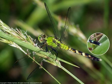 Eastern Pondhawk dragonfly (immature male)