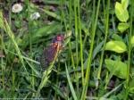 Periodical Cicada (Magicicadasp.)