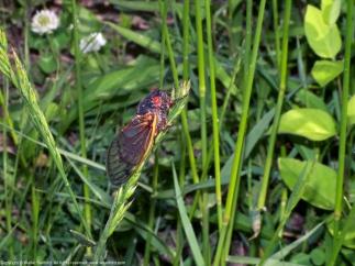 Periodical Cicada (Magicicada sp.)