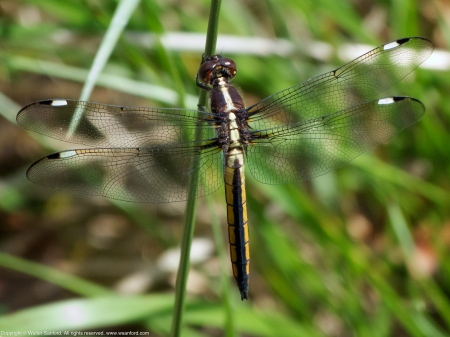 Spangled Skimmer dragonfly (immature male)