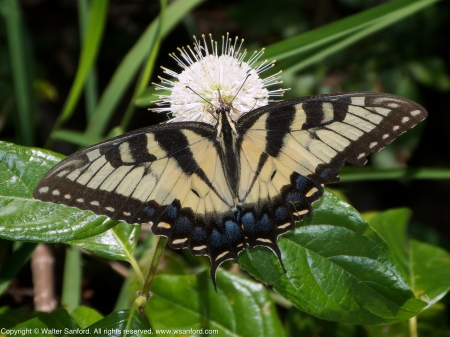 Eastern Tiger Swallowtail butterfly feeding on Common Buttonbush
