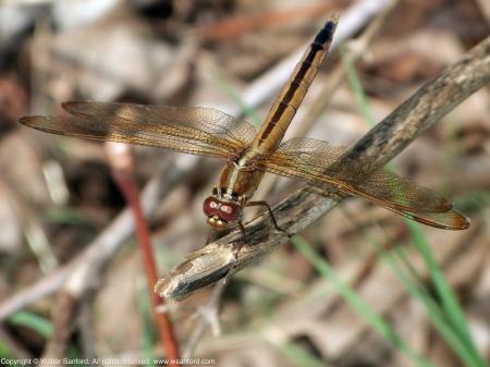 Needham's Skimmer dragonfly (female)