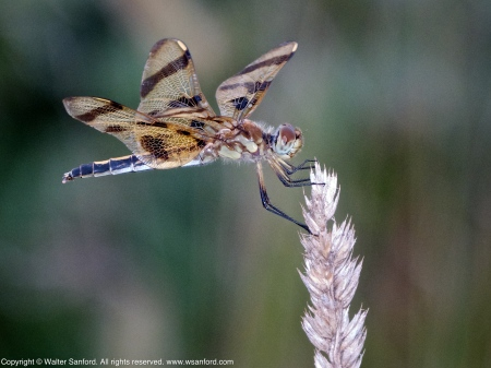 Halloween Pennant dragonfly (female)