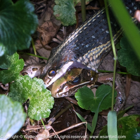 Common Ribbonsnake eating a frog