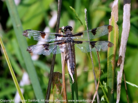 Twelve-spotted Skimmer dragonfly (adult female)