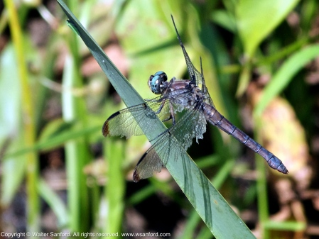 Great Blue Skimmer dragonfly (adult female, resting after mating)