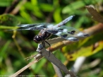 Twelve-spotted Skimmer dragonfly (male)