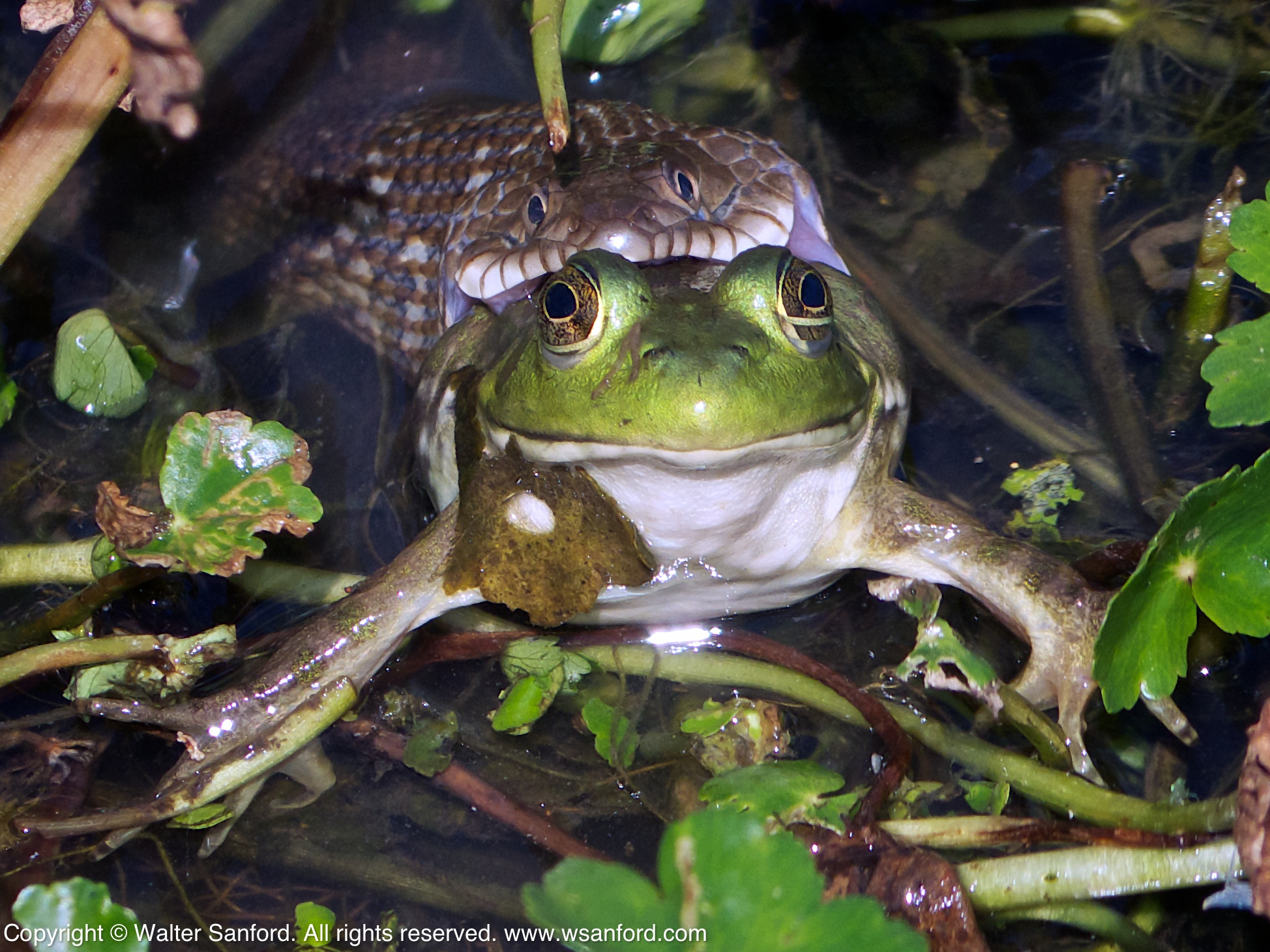 Frog Eating Girl