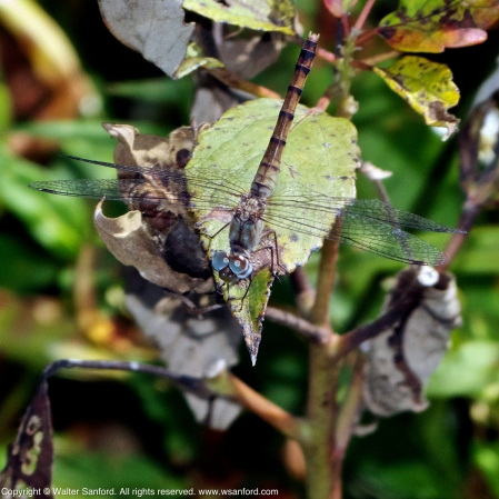 Blue-faced Meadowhawk dragonfly (female)
