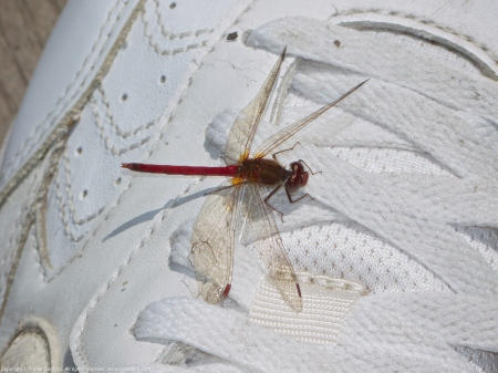 Autumn Meadowhawk dragonfly (male, perching on my shoe)