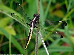 Spangled Skimmer dragonfly (female)