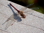 Autumn Meadowhawk dragonfly (female)
