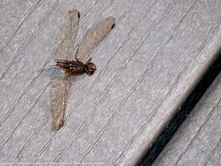Autumn Meadowhawk dragonfly (carcass)