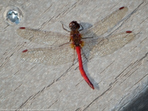 Autumn Meadowhawk dragonfly (male, malformed)