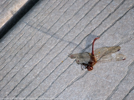 Autumn Meadowhawk dragonfly (male, carcass)