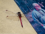 Autumn Meadowhawk dragonfly (male, perching on signage)