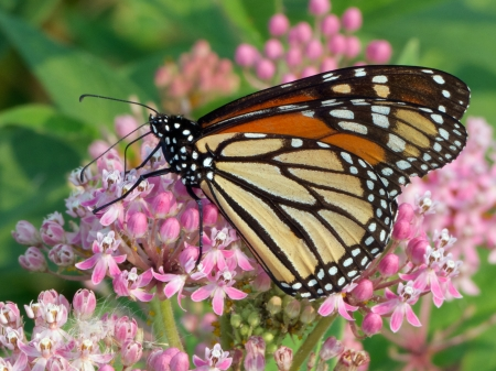 Monarch butterfly feeding on Swamp Milkweed
