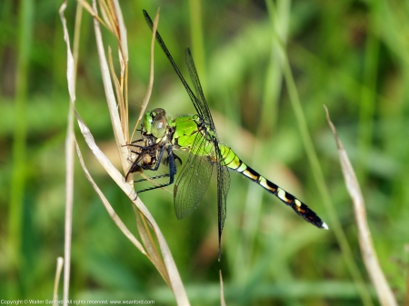Eastern Pondhawk dragonfly (immature male, eating a Yellow Fly)