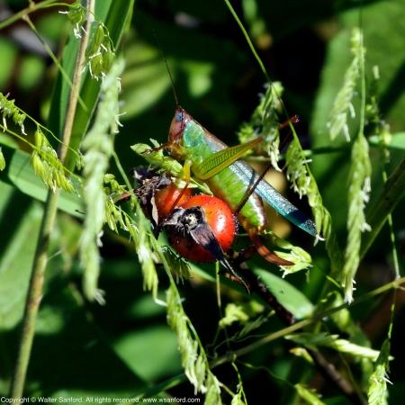 Handsome Meadow Katydid perching on Swamp Rose hips