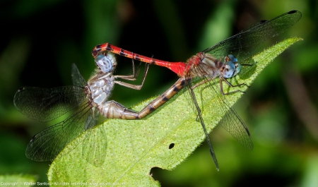 Blue-faced Meadowhawk dragonflies (mating pair)