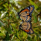 Viceroy butterflies (mating pair)