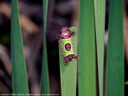 Saddleback Caterpillar Moth (Acharia stimulea)