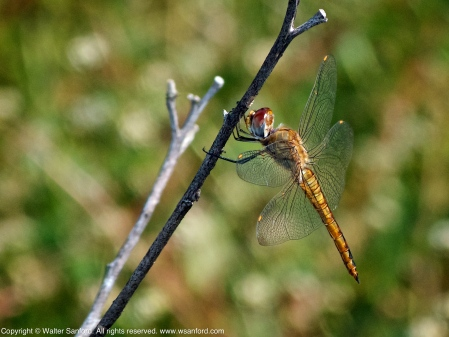 Wandering Glider dragonfly (Pantala flavescens)