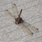 Autumn Meadowhawk dragonfly (carcass)