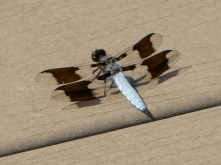 Common Whitetail dragonfly | male