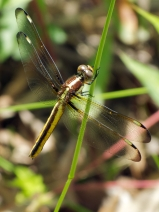 Spangled Skimmer dragonfly | immature female