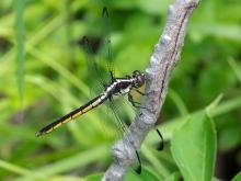 Slaty Skimmer dragonfly | immature female