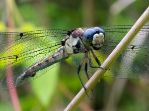 Great Blue Skimmer dragonfly | immature female